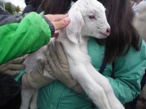 Baby Goat!!!!!