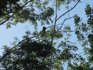 howling monkey in the treetops. At the farm, we saw an array of animals!